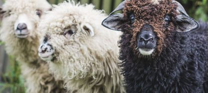 sheep-3484745_1920 sheep-3484745_1920