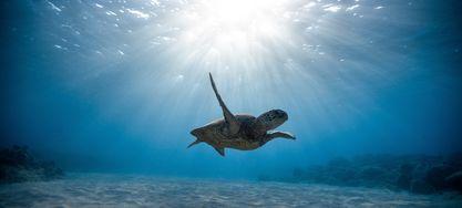 Eine Schildkröte schwimmt im Meer